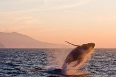 Jumping humpback whale Stock Photography