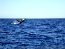 Jumping humpback whale   .. Australia Royalty Free Stock Photos