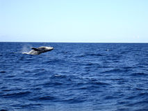 Jumping humpback whale .. Australia Stock Photos