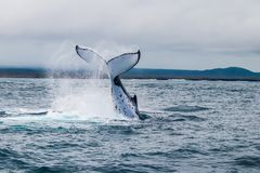 Jumping humpback whale stock photos