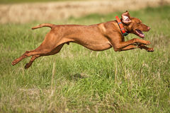 Jumping hunting dog Stock Photo