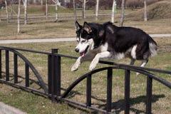 Jumping husky Stock Photography