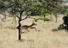 A jumping Impala behind the tree Stock Photo