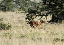 A jumping Impala behind the tree Stock Photos