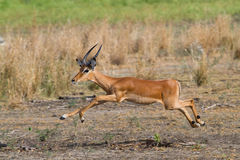 Jumping impala ram Stock Photo