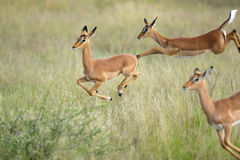 Jumping impalas Stock Photos