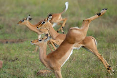 Jumping impalas. Three jumping impala lambs with the centre one in focus and the other two out of focus stock image