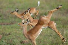 Jumping impalas Stock Image