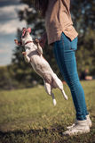 Jumping Jack Russel dog on a green lawn next to girl.  Stock Image