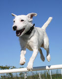 Jumping jack russel terrier. Jumping puppy purebred jack russel terrier and blue sky royalty free stock photos