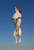 Jumping jack russel terrier. Jumping purebred jack russel terrier in a blue sky Royalty Free Stock Photo