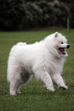 Jumping for joy. Happy Samoyed dog jumping up with joy Royalty Free Stock Photo