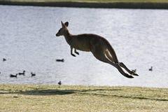 Jumping kangaroo. Kangaroo bounding away beside lake Royalty Free Stock Photo