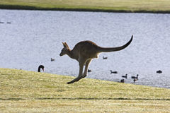 Jumping kangaroo. Kangaroo bounding away beside lake Royalty Free Stock Image