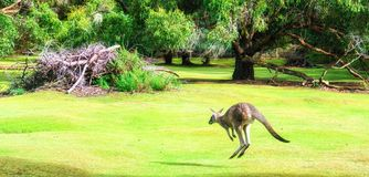 Jumping Kangaroo. At Tasman Peninsula, Tasmania stock photo
