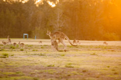 Jumping kangaroo at sunset Stock Photography