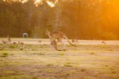 Jumping kangaroo at sunset Stock Photography