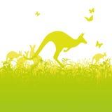 Jumping kangaroos in Australia Stock Photo