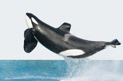 Jumping killer whale Royalty Free Stock Photography