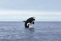 Jumping killer whale Royalty Free Stock Image