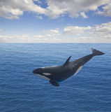 Jumping killer whale Stock Photos
