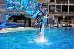 Jumping killer whales. Jumping killer whale in San Diego, California, USA royalty free stock images
