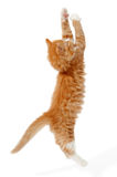 Jumping kitten Royalty Free Stock Photos