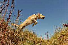 Jumping labrador Stock Photos