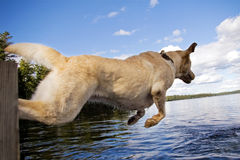 Jumping labrador Royalty Free Stock Photo