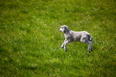 Jumping Lamb. A young lamb running and jumping in a green field stock photo