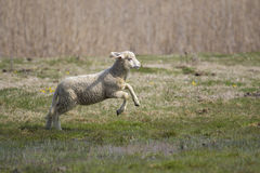 Jumping lamb. Cute lamb jumping in the meadow royalty free stock photography