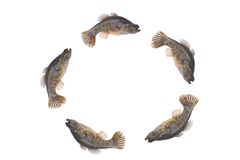 Jumping little fishes isolate. Jumping little fishes on a white background royalty free stock images