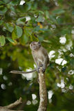 Jumping Macaque Monkey Stock Image