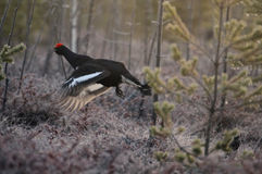 Jumping male Black Grouse at swamp courting place before dawn Royalty Free Stock Images