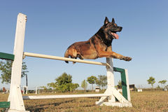 Jumping malinois. Purebred belgian sheepdgog malinois in a training of agility Royalty Free Stock Photo