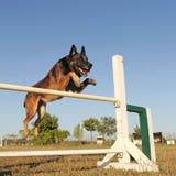 Jumping malinois Stock Photos