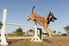 Jumping malinois. Purebred belgian sheepdog malinois in a training of agility Royalty Free Stock Image