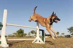 Jumping malinois Royalty Free Stock Image