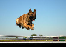 Jumping malinois Stock Image
