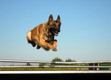Jumping malinois. Beautiful portrait of purebred belgian shepherd: cute jumping dog Stock Image
