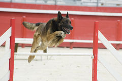 Jumping malinois. Purebred belgian sheepdog malinois in a competition of agility Royalty Free Stock Photography