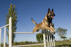 Jumping malinois. Purebred belgian sheepdog malinois in a training of agility Stock Photos