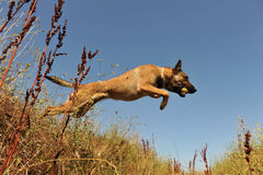 Jumping malinois Stock Photo