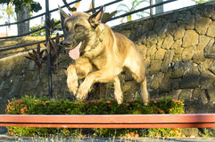 Jumping Belgian Malinois dog. Picture a well trained belgian malinois dog jumping over a bar looking effortless for him in an agility-obedience exercise Stock Image