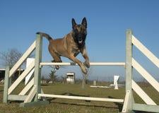 Jumping malinois Royalty Free Stock Photos
