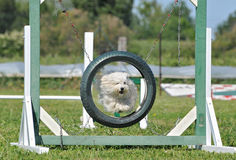 Jumping maltese dog. Purebred maltese dog in a competition of agility Royalty Free Stock Images