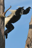 Jumping Monkey. Black and white colobus caught in the mid air Stock Images