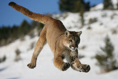 Jumping Mountain Lion stock photo