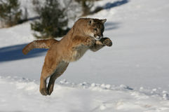 Jumping Mountain Lion. Mountain lion or Puma jumping stock image