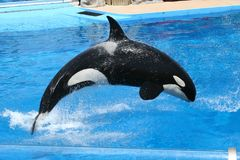 Jumping Orca stock photos